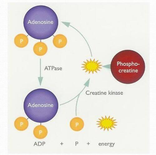 ATP供能系統