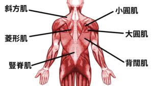 背部的肌肉位置