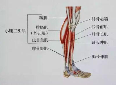 腿部的肌肉