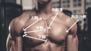 胸肌的肌肉組織(胸肌還有分為5個部位!?)